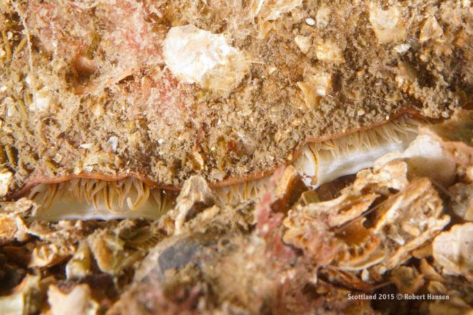 Jakobsmuschel im Sand vergraben © Robert Hansen