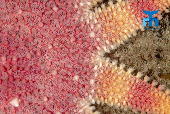 Crossaster papposus, common sun star, gemeiner Sonnenstern: farbenprächtiger Räuber © Robert Hansen, Juli 2019