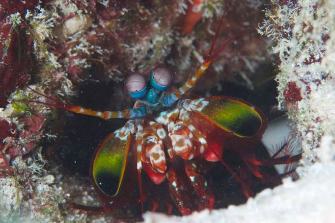 Hallo Fangschreckenkrebs - Malediven 2015 © Robert Hansen