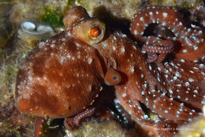 Der rote Oktopus weiss nicht so recht, ob er vor dem grellen Licht der Kameralampen fliehen soll © Robert Hansen, Gozo Oktober 2015