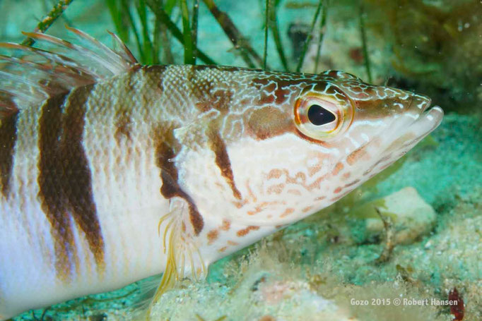 Schriftbarsch. Häufig in Seegraswiesen in geringer Tiefe anzutreffen. Sein Revier verteidigt der Einzelgänger gegen andere Fische. © Robert Hansen, Gozo 2015