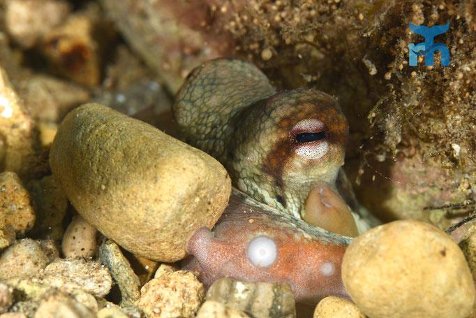 Der Oktopus (Octopus vulgaris) verbarrikadiert seinen Höhleneingang © Robert Hansen