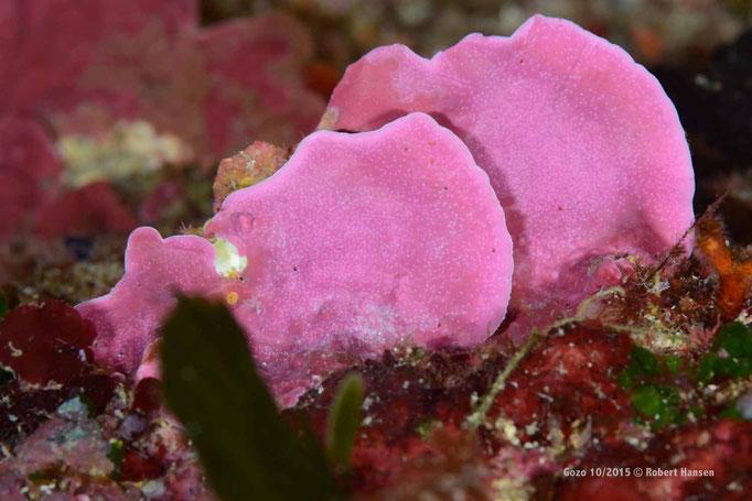 Farbenprächtige Koralle  © Robert Hansen, Gozo Oktober 2015