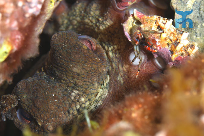 Oktopus beäugt vor seiner Höhle einen wagemutigen Einsiedlerkrebs © Robert Hansen