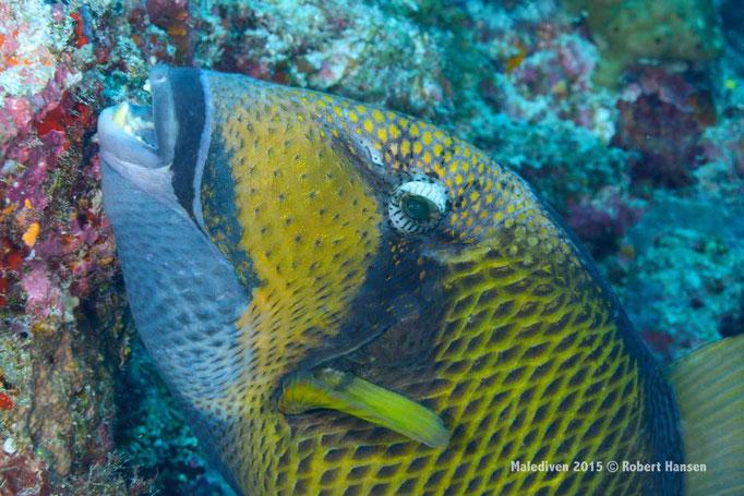Drückerfisch frisch aus dem Farbkasten - Malediven 2015 © Robert Hansen