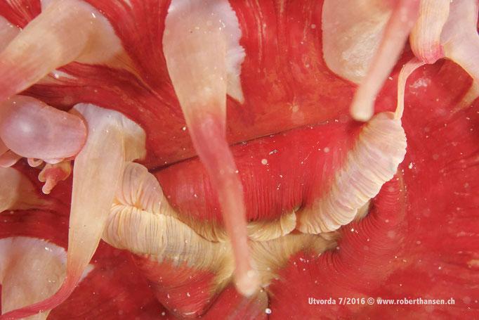 Nahe hingeschaut: Anemone © www.roberthansen.ch
