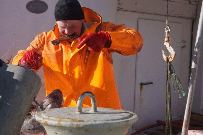 Nils-Peter zieht einen Dorsch aus dem Netz. © Robert Hansen, Hamnøya, April 2014