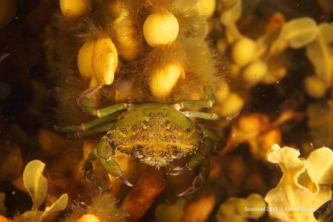 Krabbe sucht im Seetang nach Nahrung © Robert Hansen