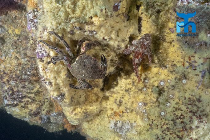 Necora puber, velvet swimming crab, Samtkrabbe: Skorpionfisch auf Annäherungskurs © Robert Hansen, Juli 2019