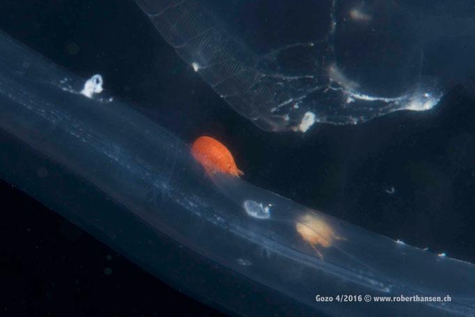 Flohkrebs im Verdauungstrakt einer Qualle © Robert Hansen, April 2016