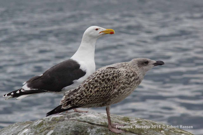 Svartbak, Great black-backed gull, Mantelmöwe – Hornøya 2014 © Robert Hansen
