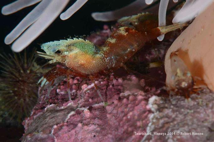 Kamuflasjereke / Anemone Shrimp / Garnele - Hinnøya 2014 © Robert Hansen
