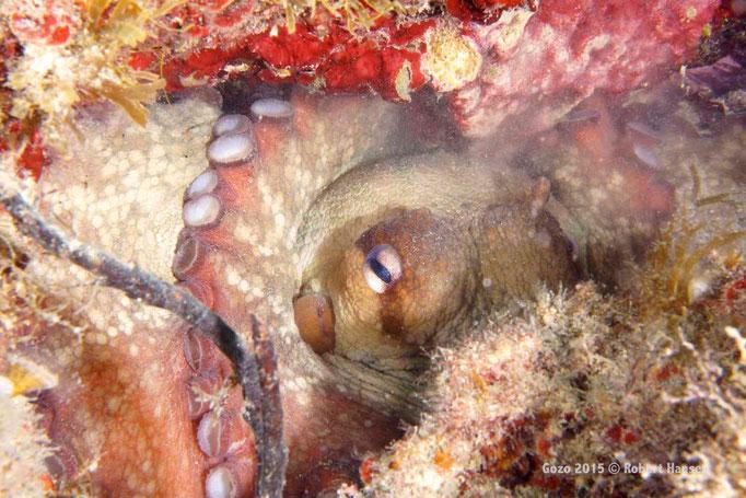 Gewöhnlicher Krake. Das Tier ist meist nachtaktiv, frisst Muscheln, kleine Krebse, Fische und Aas. Hier in einer Tiefe von fünf Metern in seiner Höhle. © Robert Hansen, Gozo 2015