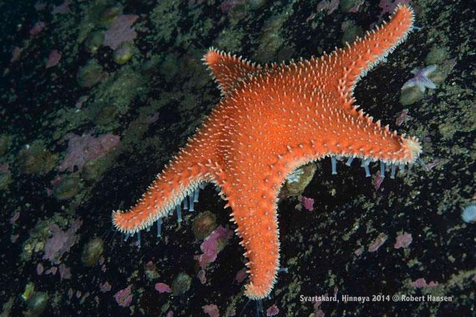 Hestestjerne / Rigis Cushion Star / Knotiger Seestern - Hinnøya 2014 © Robert Hansen