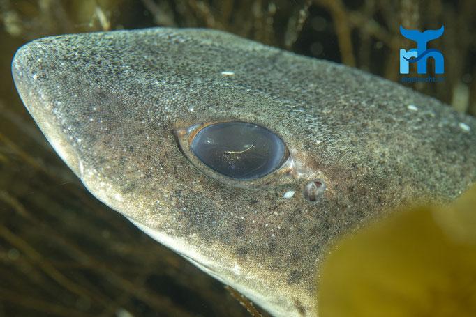 Scyliorhinus canicula, small-spotted catshark, kleingefleckter Katzenhai: Auge in Auge © Robert Hansen, Juli 2019