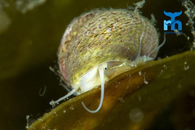 Osilinus lineatus, thick top shell, gestrichelte Buckelschnecke: langesam auf dem Kelp unterwegs ©Robert Hansen, Juli 2019