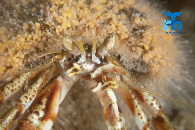 Pagurus bernhardus, common hermit crab, gemeiner Einsiedlerkrebs: mit bewachsenem Schneckenhaus © Robert Hansen, Juli 2019