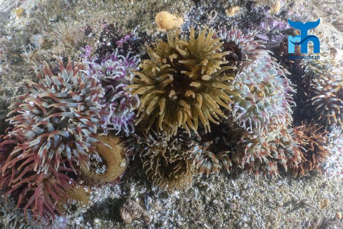 Urticina felina, dahlia anemone, dickhörnige Seerose: Farbenpracht © Robert Hansen, Juli 2019