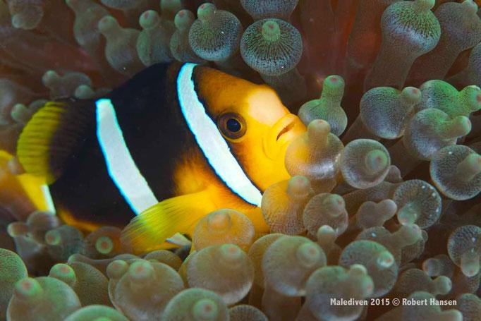 Clownfisch zwischen den nestelnden Tentakeln einer Anemone - Malediven 2015 © Robert Hansen