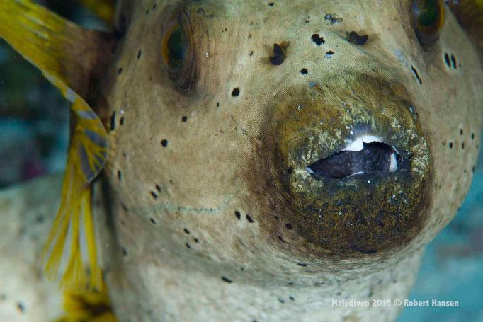 Kofferfisch mit Zahnstellungsproblemen - Malediven 2015 © Robert Hansen