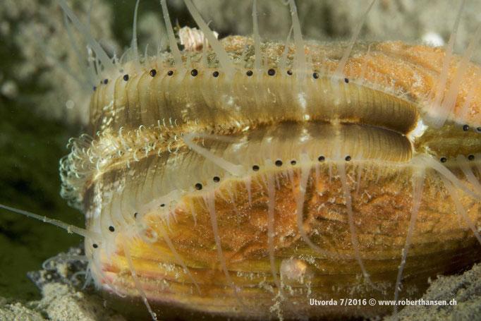 Muschel (aequipecten opercularis) mit ihren lichtempfindlichen «Augen» © www.roberthansen.ch