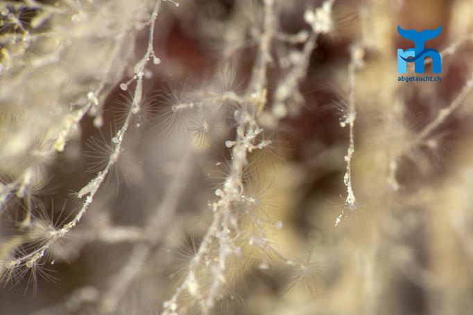 Obelia geniculata, hydroid, Glockenpolyp:feinste Tentakel lauern auf Beute © Robert Hansen, Juli 2019