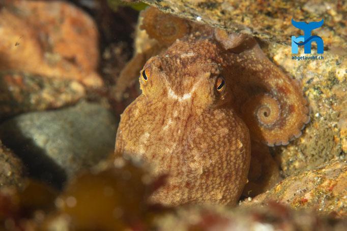Eledone cirrhosa, curled octopus, Zirrenkrake: Versteck sich zwischen den Steinen © Robert Hansen, Juli 2019