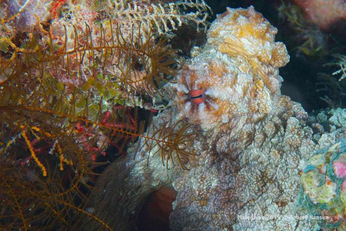 Gut getarnter Octopus - Malediven 2015 © Robert Hansen