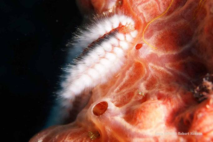 Bart-Feuerwurm. Das häufig vorkommende Tier wird bis 30 Zentimeter lang und besteht aus rund 100 Segmenten, bestückt mit Borstenpaaren. © Robert Hansen, Gozo 2015