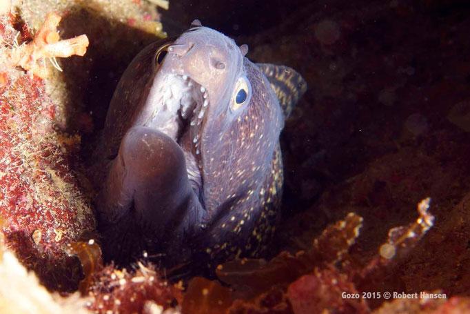 Mittelmeer-Muräne. Wird bis 1.5 Meter lang. Das nachtaktive Tier jagt nachts nach Fischen, Kraken und Krebstiere. Tagsüber lebt sie verstekt in Felsritzen und Höhlen. Hier in einer Tiefe von 30 Metern. © Robert Hansen, Gozo 2015