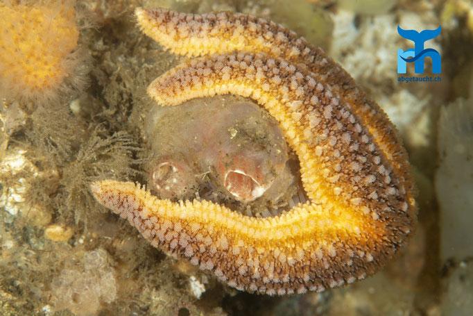 Asterias rubens, common starfish, gemeiner Seestern: schmackhafte Seescheide © Robert Hansen, Juli 2019