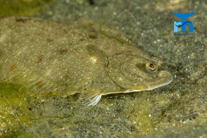 Pleuronectes platessa, plaice, Scholle: gut getarnt auf dem Sandboden © Robert Hansen, Juli 2019