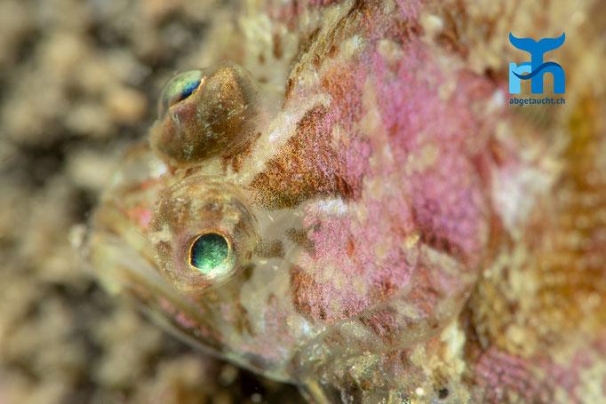 Zeugopterus punctatus, topknot, Haarbutt: im farbenprächtigen Kleid © Robert Hansen, Juli 2019