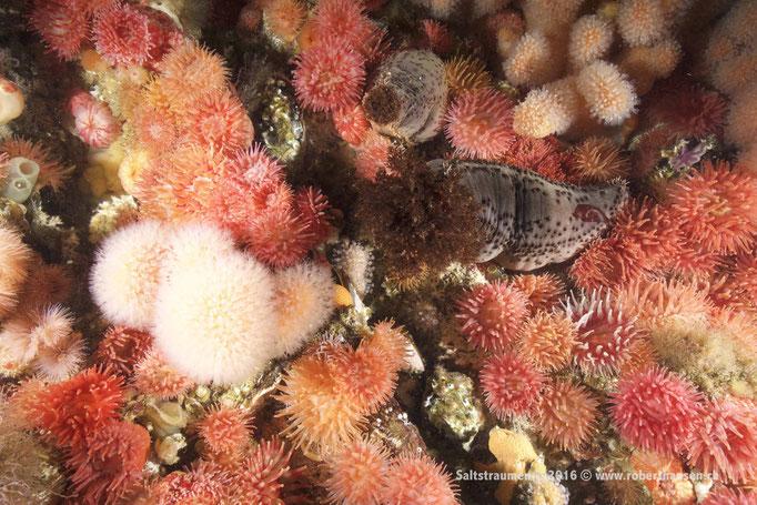 Seegurke zwischen Anemonen © Robert Hansen
