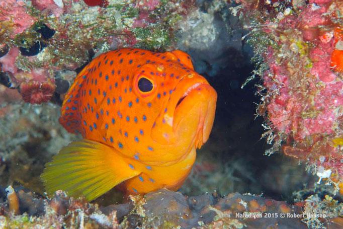 Wer will in meine Höhle? - Malediven 2015 © Robert Hansen