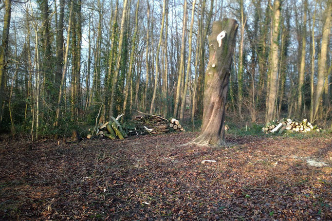 All that remains of the horse chestnut, but hopefully a future home for woodpeckers