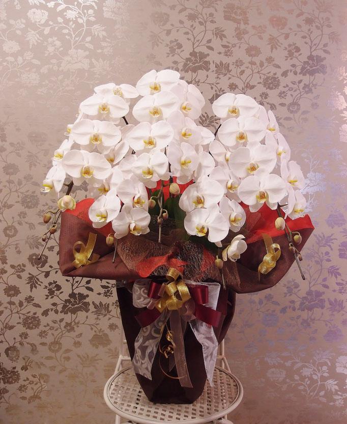 見栄えのよい5本立ち胡蝶蘭