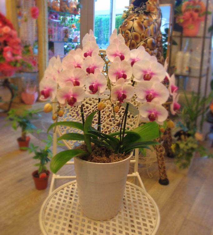 ピンクの胡蝶蘭 ミニ