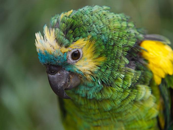 Ein grüner Papagei