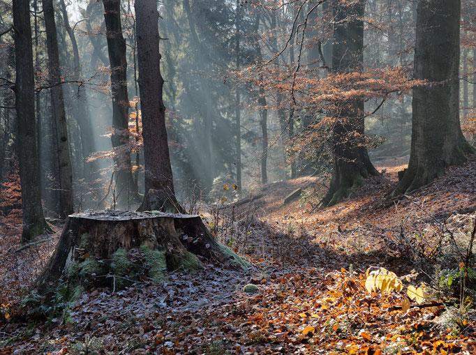 Baunstumpf im Wald