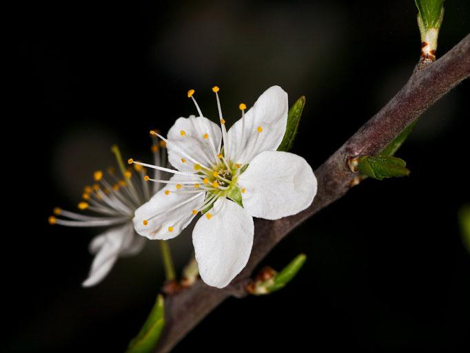 An einem Zweig werden erste Blüten sichtbar
