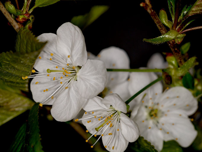 Frühlingsblüten an einem Strauch