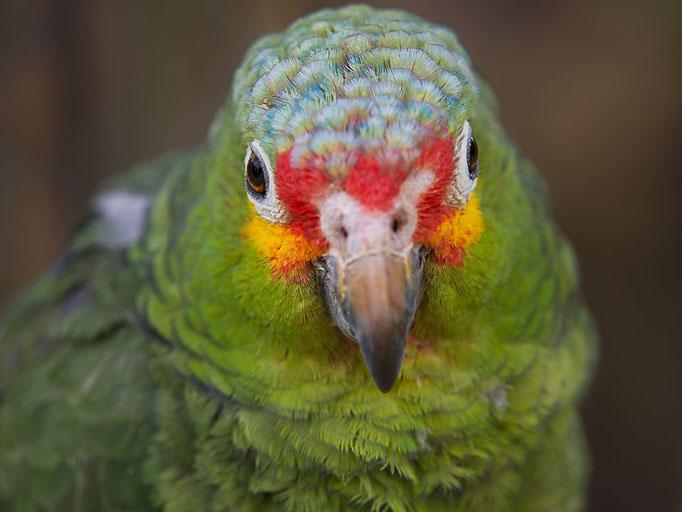 Ein Papagei mit einem bunten Gesicht