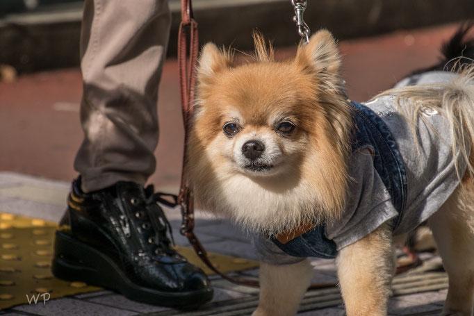 Hunde gibt es nur wenige. Dieser ist bestimmt sehr japanisch...