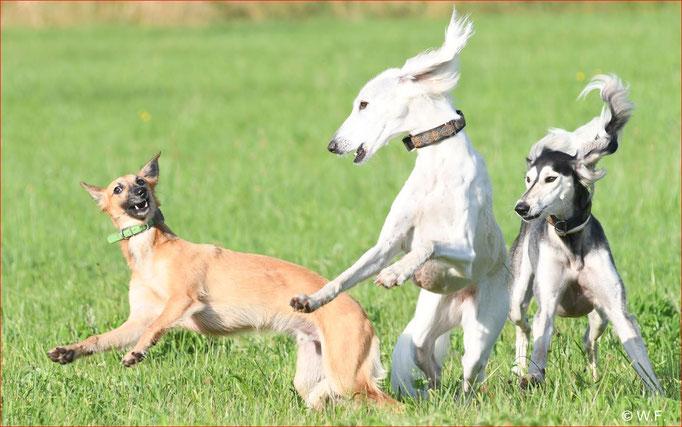 Windhunde Silken Windsprite beim spielen