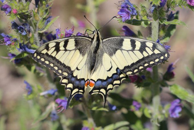 Schwalbenschwanz (Papilio machaon), Frankenberg / Eder