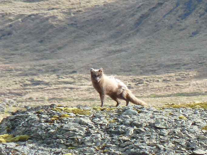 Eisfuchs (Vulpes lagopus)