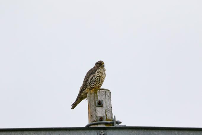 Gerfalke (Falco rusticolus), Island - Beim Mývatn-See konnte wir die größte Falkenart der Welt bei der Jagt beobachten.