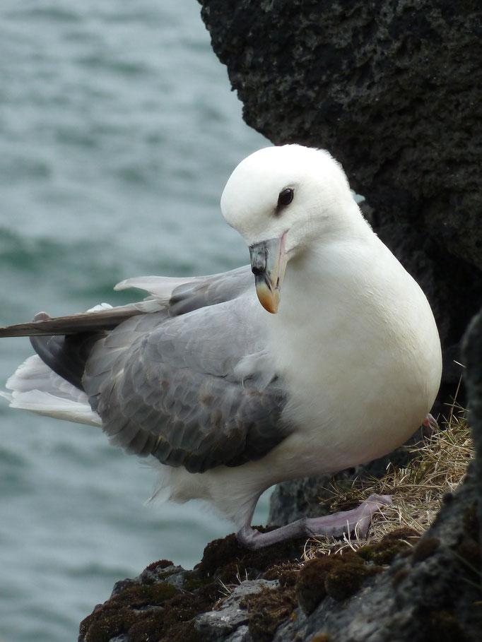 Eissturmvogel (Fulmarus glacialis),  Island