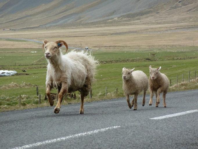 Schafe auf der Straße in Island